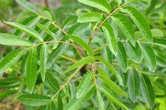 Terebinth (Pistacia terebinthus) zdjęcie royalty free