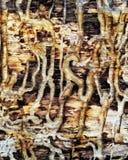 Teredo de madeira da textura Imagens de Stock