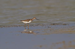 Terek Sandpiper Royalty Free Stock Photo