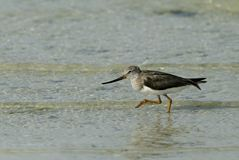 Terek Sandpiper running in search of food. The Terek sandpiper is a small migratory bird with upcurved bill Stock Photo