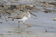 Terek Sandpiper spring day walking through the shallow water of Stock Photo