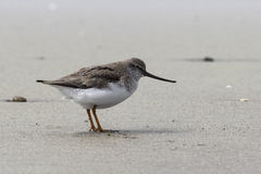 Terek Sandpiper standing on a sandy beach in the spring Royalty Free Stock Photography