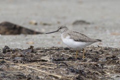 Terek Sandpiper standing on the shore of a shelf Royalty Free Stock Photos