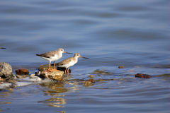 Terek Sandpiper Stock Photo