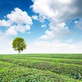 terenów wielka plantaci herbata Obraz Stock