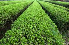 terenów wielka plantaci herbata Obrazy Stock