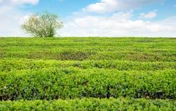 terenów wielka plantaci herbata Obraz Royalty Free