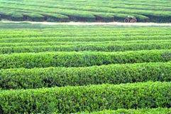 terenów wielka plantaci herbata Fotografia Stock