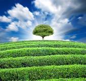 terenów wielka plantaci herbata Obrazy Royalty Free