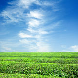 terenów wielka plantaci herbata Zdjęcia Stock
