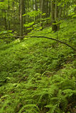 terenu łóżek paproci lasu nf różowy pisgah fotografia stock