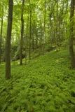 terenu łóżek paproci lasu nf różowy pisgah zdjęcie royalty free