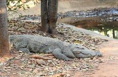 terenu duży krokodyla wielki Thailand zoo Obraz Royalty Free