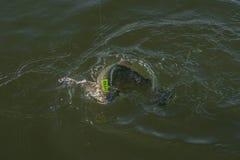 Terenu pstrągowy połów Złapany łosoś ryby skok w wodzie z chełbotaniem zdjęcie stock
