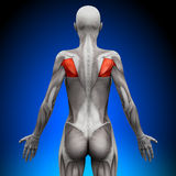 Teres - Female Anatomy Muscles. Teres - Female Human Anatomy Muscles stock illustration