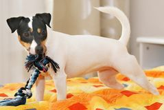 terier jack Russell Obrazy Stock