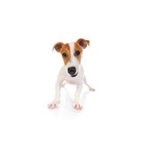 terier jack Russell Obraz Royalty Free