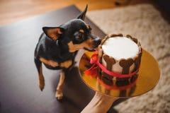 Terirer παιχνιδιών που τρώει τη λαβή κέικ γενεθλίων από τη γυναίκα Στοκ φωτογραφία με δικαίωμα ελεύθερης χρήσης