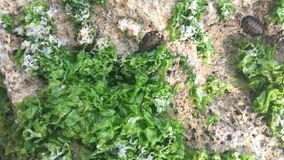 Teritib no coral com alga foto de stock royalty free
