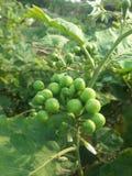 Terkey莓果 库存图片