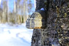 Although the term classically was reserved for polypores, molecular studies have revealed some odd relationships. Polypores are a group of fungi that form Royalty Free Stock Image