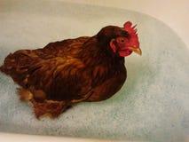 Termas da galinha Imagem de Stock