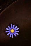 Termas roxos da flor Imagens de Stock Royalty Free