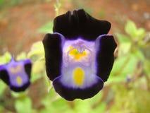 Termatea del Clitoria - flor del guisante azul o del guisante de mariposa Fotografía de archivo libre de regalías