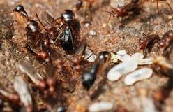 Termieten en vliegende mieren Stock Afbeelding