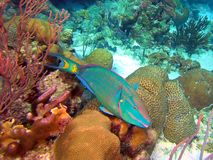 Stoplight Parrotfish Terminal Phase Male. A `terminal phase` male Stoplight Parrotfish cruises the coral reef off the shores of Bonaire, Netherlands Antilles stock image