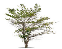 Terminalia catappa,热带杏仁,孟加拉杏仁,印地安almon 免版税库存图片