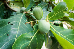 Terminalia catappa, Bengal almond. Tree brunch Royalty Free Stock Photos