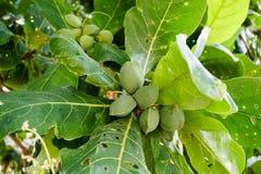 Terminalia catappa, Bengal almond. Tree brunch Royalty Free Stock Photography