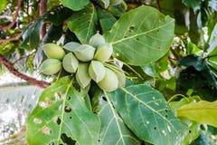 Terminalia catappa, Bengal almond. Tree brunch Royalty Free Stock Image
