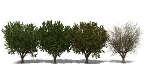 Terminalia catappa (Four Seasons) Royalty Free Stock Photo