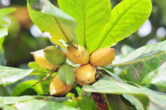 Terminalia Catappa Fruit With Green Leaves Stock Photography
