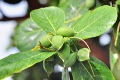 Terminalia Catappa Fruit With Green Leaves Royalty Free Stock Photos