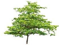 Terminalia catappa.(Tropical almond, Bengal almond, Indian almo Stock Images