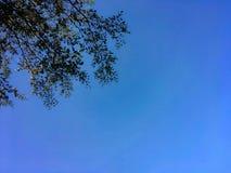 Terminalia ivorensis叶子和肢体有天空蔚蓝背景 免版税库存图片