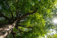 Terminalia ivorensis. Bottom view of tree in sunny day, lens flare effect Royalty Free Stock Photos