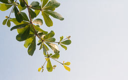 Terminalia ivorensis chev on clear sky Stock Images