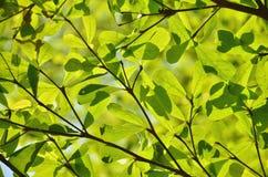 Terminalia ivorensis Chev Royalty Free Stock Photo