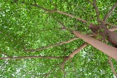 Terminalia ivorensis Chev, ombra sotto l'albero Immagini Stock