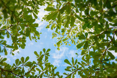 Terminalia ivorensis Chev. On the sky Stock Photography