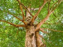 Terminalia ivorensis Chev tree Royalty Free Stock Photo