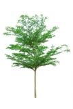 Terminalia ivorensis chev. tree isolated on white Royalty Free Stock Images