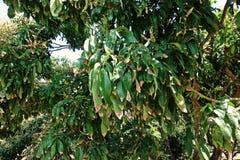Termine di campo del Longan, ruggine di foglie del longan dall'ambiente e prodotto chimico Fotografie Stock