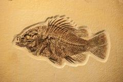 Termine o fóssil dos peixes Fotografia de Stock Royalty Free