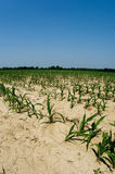 Termini di siccità nel campo di cereale dell'Illinois Immagine Stock