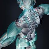 Termisk bildläsning av mänsklig anatomi Arkivfoto